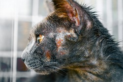 Close up of cat face allergic fungal skin disease , Atypical dermatitis in a domestic cat , bacteria infections animal