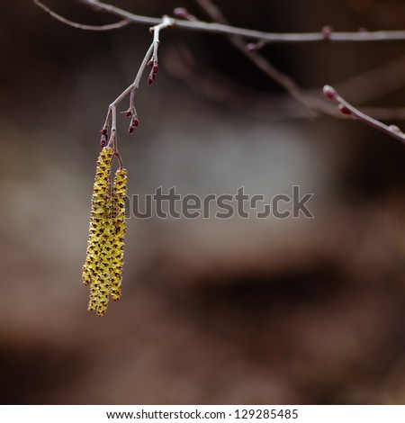 Close up of catkins on an alder tree in spring, against a sky.