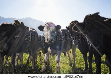 Close up of cattle with calf in field