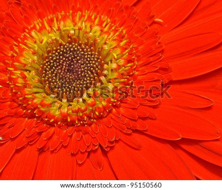 close up of central portion of red Gerbera flower