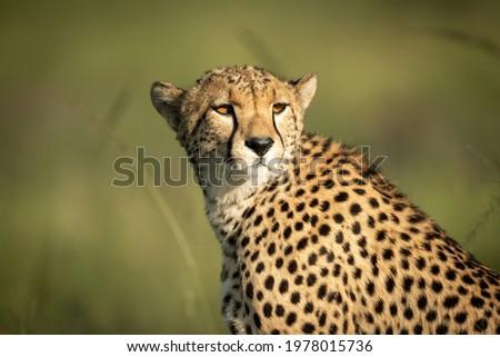 Close-up of cheetah sitting turning head round Zdjęcia stock ©