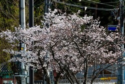 Close-up of cherry blossoms blooming on the street