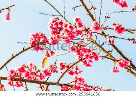 Close Up of Cherry Blossum at Chiangmai Province, Thailand