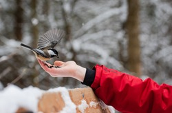 Close up of chickadee bird eating seeds from child's hand in winter.