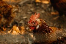 Close up of chicken in organic farm. Hen portrait close-up.