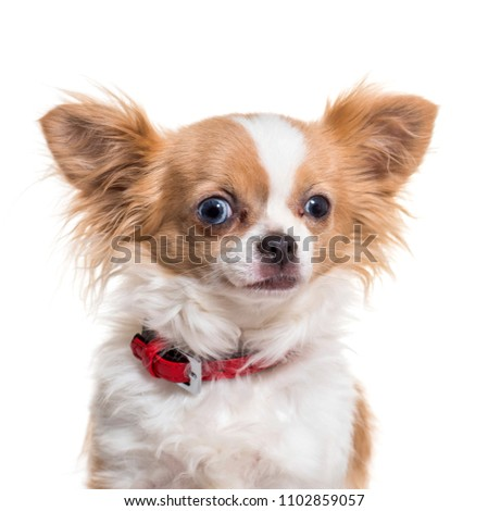 Close-up of chihuahua dog, isolated #1102859057