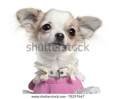 Close-up of Chihuahua puppy in pink dress, 6 months old, in front of white background