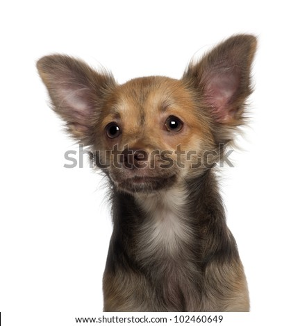 Close up of Chihuahua puppy, 5 months old, in front of white background