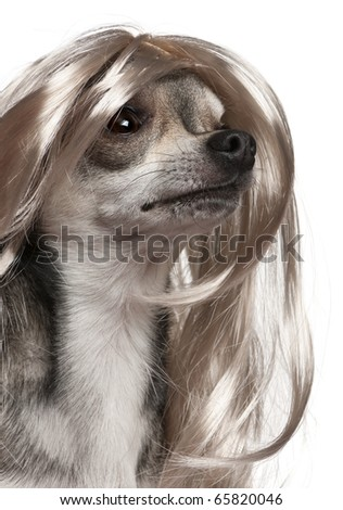 Close-up of Chihuahua with long hair wig, 3 years old, in front of white background