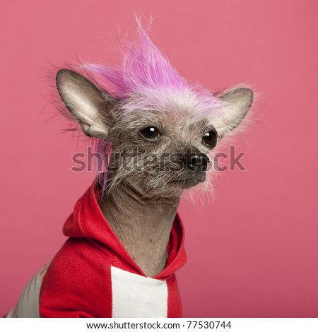 Close-up of Chinese Crested Dog with pink mohawk, 4 years old, in front of pink background