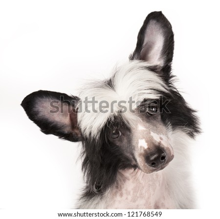 Close-up of Chinese Crested puppy, 3 months old, in  white background