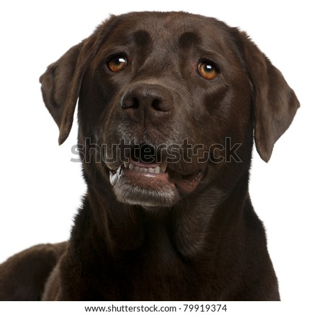 Close-up of Chocolate Labrador, 4 years old, in front of white background