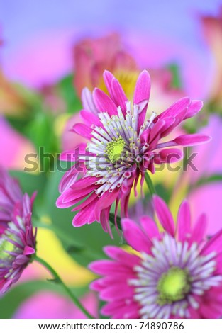 Close-up of   chrysanthemum flower.See similar in my portfolio
