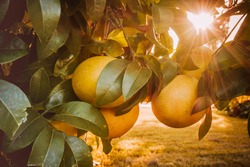 Close-up of citrus (grapefruit) on a tree and sun shining through the leaves