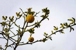 Close-up of Citrus trifoliata or Japanese bitter orange (Poncirus trifoliata) fruit on thorny branches against sky. Public landscape park Krasnodar or Galitsky park. Park for walking and sports.