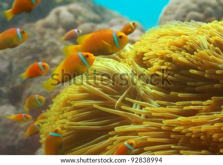 Close-up of clownfishes group swimming among anemones