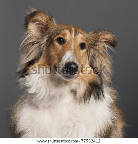 Close-up of Collie in front of grey background