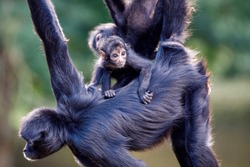 close-up of Colombian spider monkeys (Ateles fusciceps), wild animals