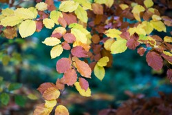 Close-up of colorful beech leaves in autumn