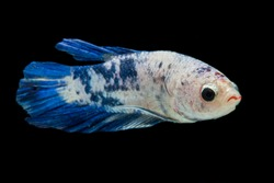 Close up of colorful Betta fish. Beautiful Siamese fighting fish, Fancy Betta splendens blue marble isolated on black background.