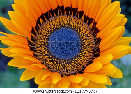 Close-up of colorful Cape Daisy flower in garden. Stock photo ©