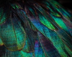 Close up of colorful duck feathers. Vivid colors of the plumage.