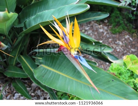 free photos purple bird of paradise flower with a yellow background
