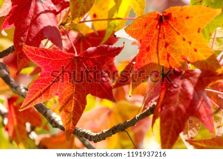 Close up of colorful fall leaves of a Liquidamber tree (Liquidambar styraciflua)