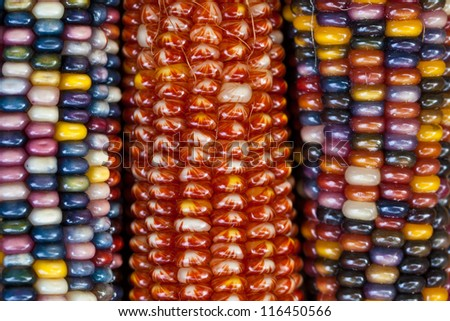 Close up of colorful ornamental Indian maize (corn) in Autumn.