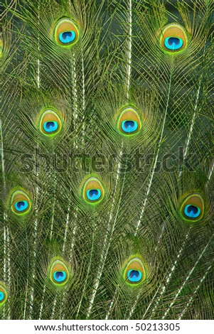 Close up of colorful peacock feather eyes