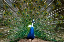 Close up of colorful peacock tail feathers. Majestic pheasant mating ritual at the bird farm.
