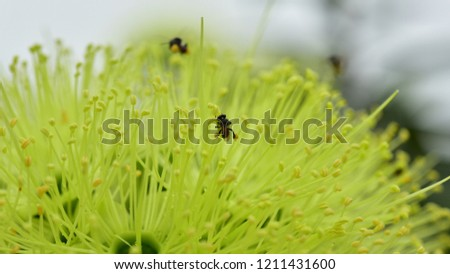 Close-up of colourful green aster to be used as a background.A bee collects nectar from green flower. Super macro photo. Summer love insects feed on nectar.