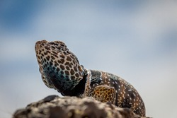Close Up of Common Collared Lizard Standing on a Rock