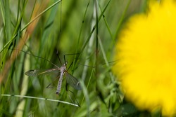 Close-up of common crane fly sitting on a blade of grass next to a dandelion flower