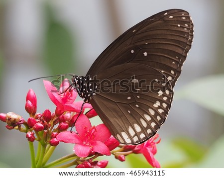 close up of common crow butterfly on small red flower, indian crow or australian crow (euploea core)