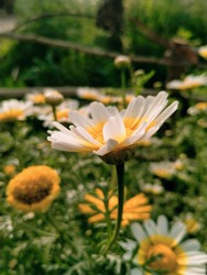 Close up of Common daisy. Euryops chrysanthemoides with selective focus on subject. Common daisy flower in flowers   garden. Marguerite daisy flower. Euryops pectinatus with blurred background. Pink