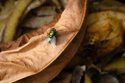 Close up of Common green bottle fly, blow fly, Lucilia sericata on a compost heap. On a old brown tree leaf. Bluebottle or carrion fly, larvae living in decaying material, preferably meat.