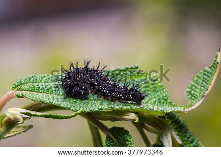 Tìm hiểu Bướm - Page 13 Stock-photo-close-up-of-common-jester-symbrenthia-lilaea-caterpillar-on-its-host-plant-leaf-in-nature-377973346