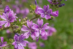 Close up of common mallow (malva sylvestris) flowers in bloom
