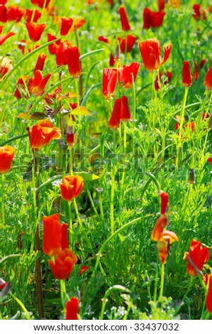 Close up of common poppies