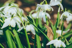 Close up of common snowdrops in bloom. High quality photo