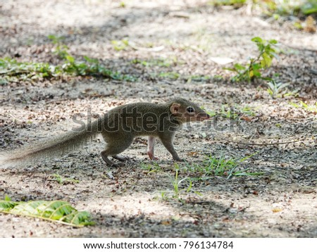 Close up of common treeshrew (Tupaia glis) on ground. Treeshrews or tree shrews or banxrings are small mammals, look like squirrel and rat native to the tropical forests of Southeast Asia. #796134784