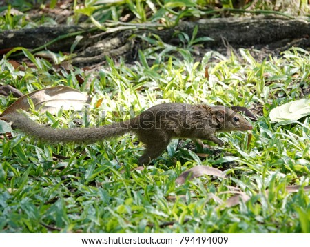 Close up of common treeshrew (Tupaia glis)  on the green grass lawn. Treeshrews or tree shrews or banxrings are small mammals native to the tropical forests of Southeast Asia. #794494009