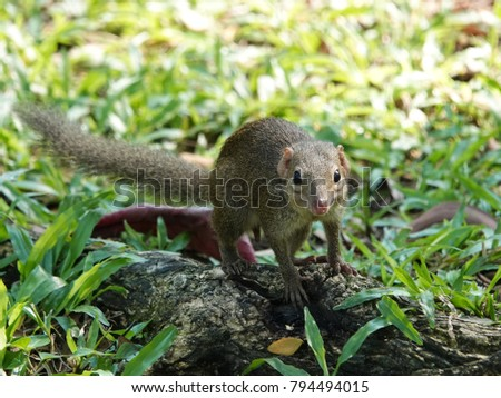 Close up of common treeshrew (Tupaia glis)  on the green grass lawn. Treeshrews or tree shrews or banxrings are small mammals native to the tropical forests of Southeast Asia. #794494015