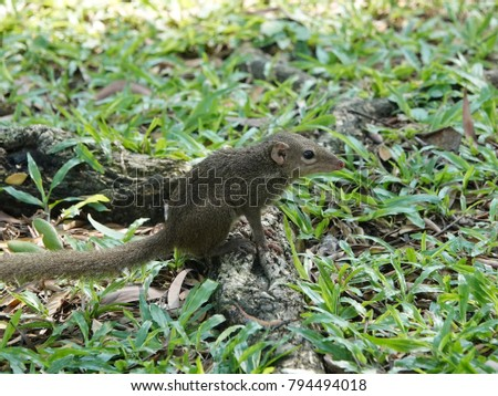 Close up of common treeshrew (Tupaia glis)  on the green grass lawn. Treeshrews or tree shrews or banxrings are small mammals native to the tropical forests of Southeast Asia. #794494018