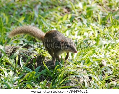 Close up of common treeshrew (Tupaia glis)  on the green grass lawn. Treeshrews or tree shrews or banxrings are small mammals native to the tropical forests of Southeast Asia. #794494021