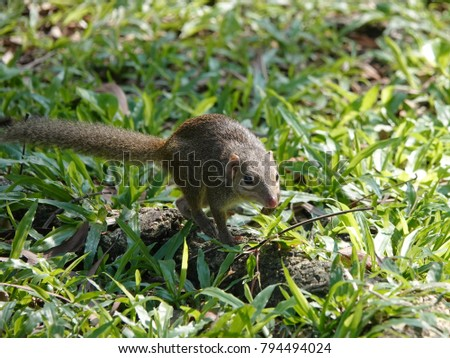 Close up of common treeshrew (Tupaia glis)  on the green grass lawn. Treeshrews or tree shrews or banxrings are small mammals native to the tropical forests of Southeast Asia. #794494024