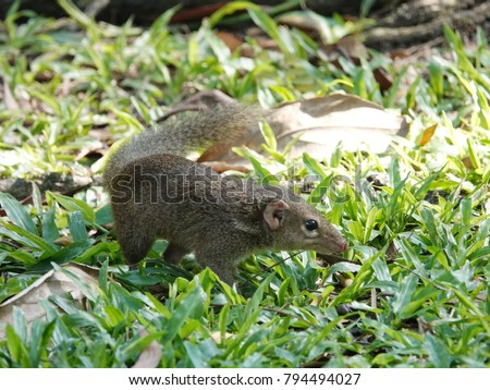 Close up of common treeshrew (Tupaia glis)  on the green grass lawn. Treeshrews or tree shrews or banxrings are small mammals native to the tropical forests of Southeast Asia. #794494027