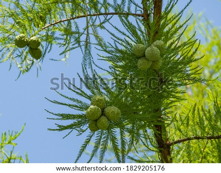 Close-up of cones and graceful foliage Bald Cypress Taxodium Distichum (swamp cypress or tidewater red cypress) in public landscape city Park Krasnodar or Galitsky Park in autumn 2020 ストックフォト ©