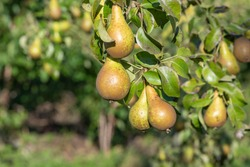 Close up of conference pears on the tree
